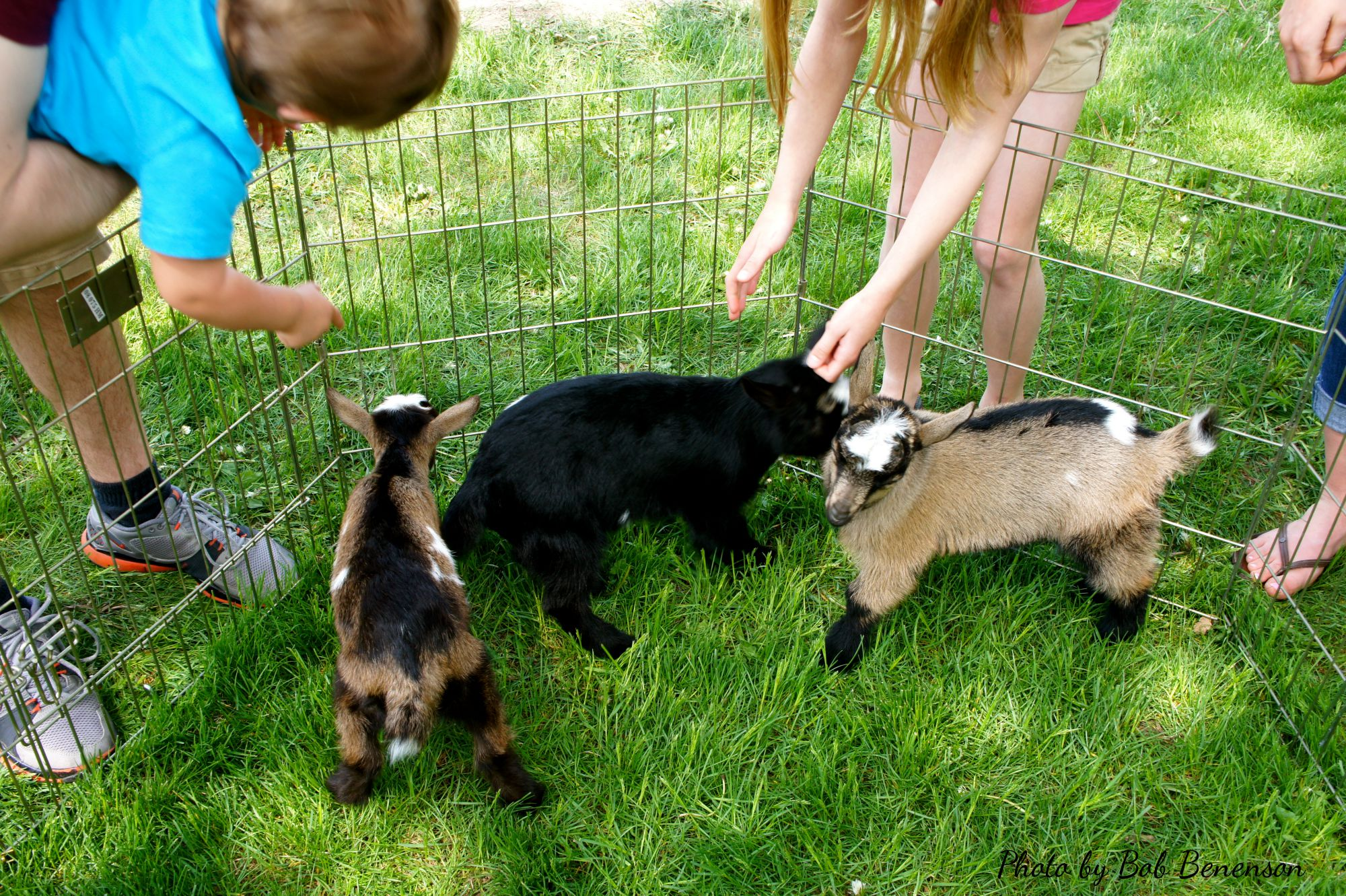 Baby goats at Prairie Crossing Farm in Grayslake, Ill.