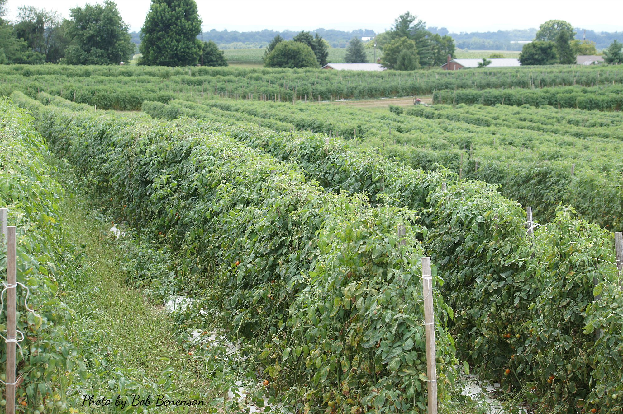 Tomato fields at Lady Moon Farm in Chambersburg, Pa.