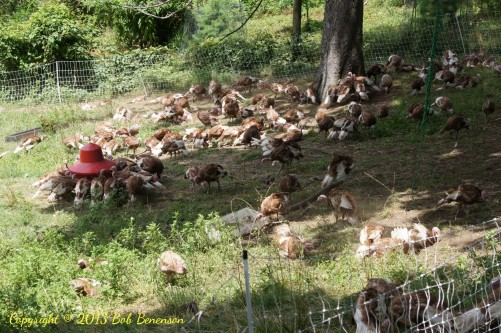 Stone Barns Center maintains a large flock of bourbon red turkeys