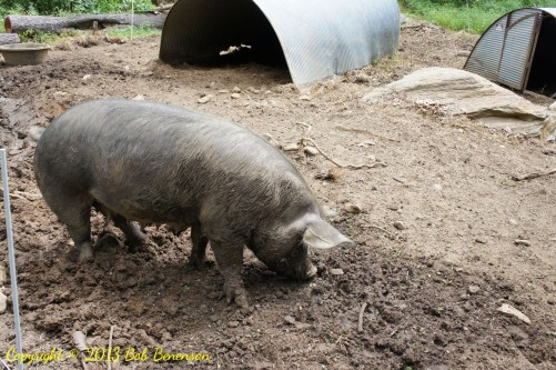 Hogs freely root in dirt in enclosures at Stone Barns Center in a sylvan setting that mimics the environment in which pigs live in the wild