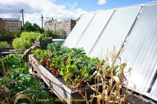 Plants and solar panels at Uncommon Ground's rooftop organic farm