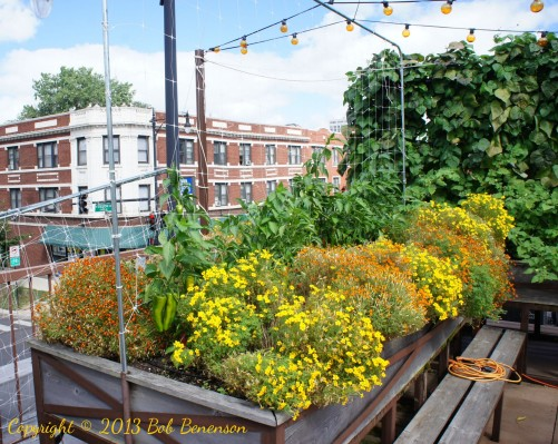 Edible flowers at Uncommon Ground's organic rooftop farm