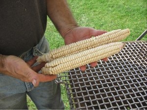 Iroquois corn at The Spence Farm