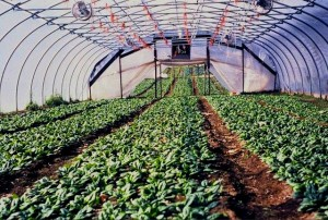 Snug Haven Farm spinach