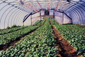 Snug Haven Farm spinach