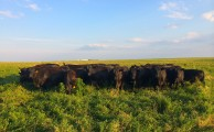 Mint Creek cattle