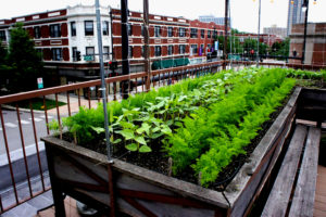 Flourishing food crops on Uncommon Ground's rooftop organic farm contrast with the cityscape at the Devon Avenue location on Chicago's Far North Side. Photos: Bob Benenson/FamilyFarmed