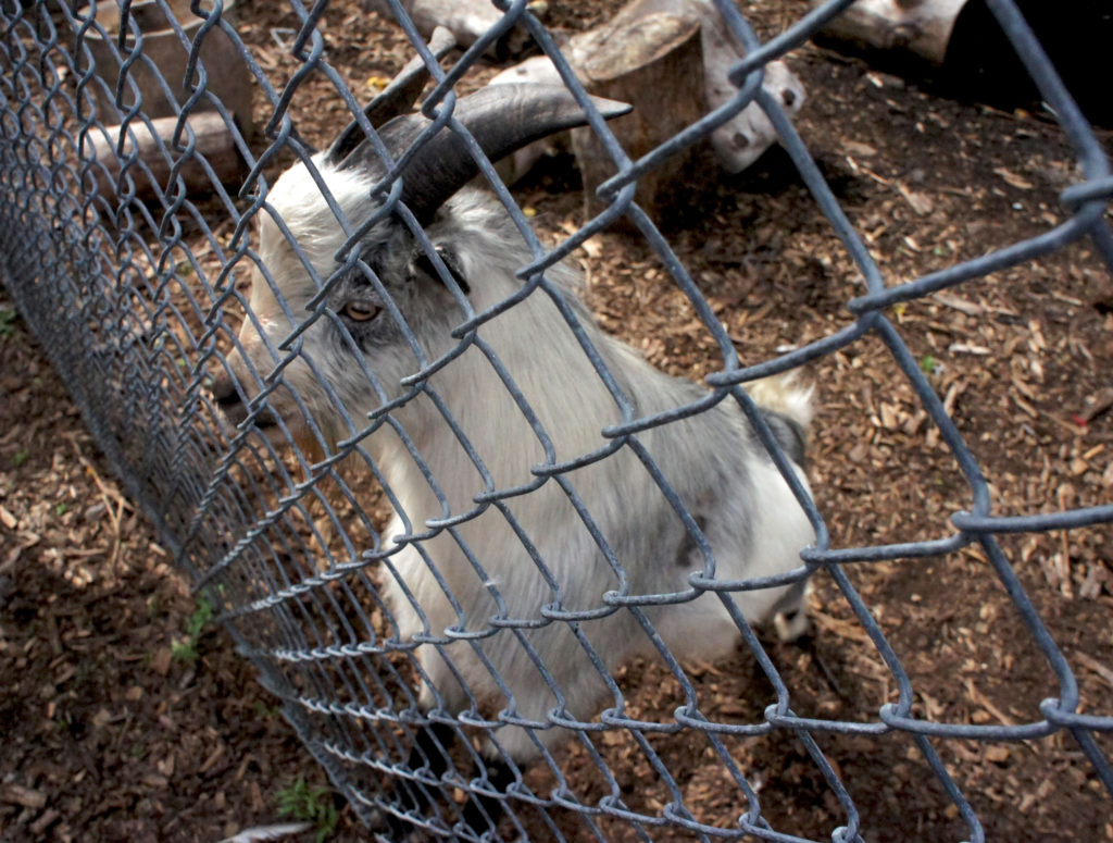 Growing Power also raised pygmy goats at its Iron Street Farm in Chicago.