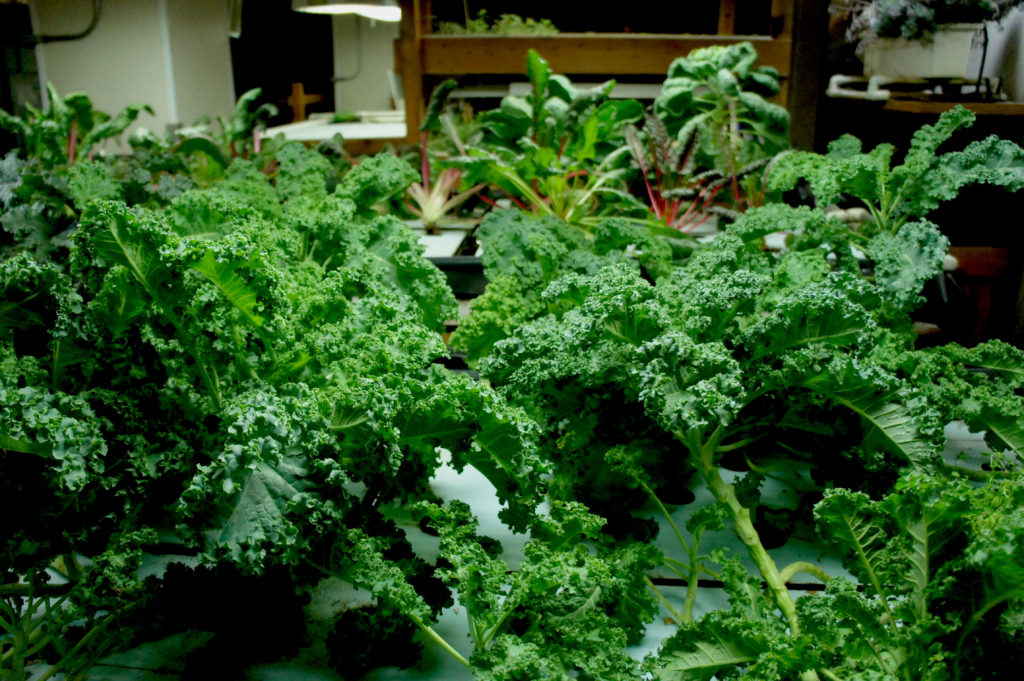 An experimental indoor farm at The Plant in Chicago grows kale (foreground) and chard.
