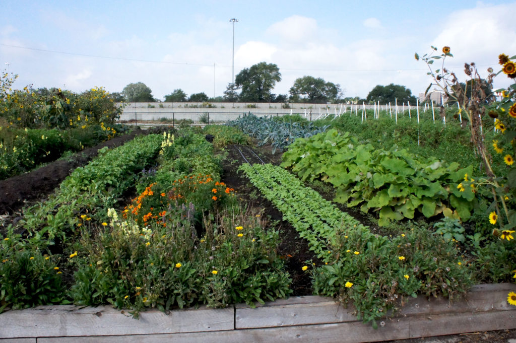 Lush rows of vegetables and flowers cover the roughly two-acre Windy City Harvest Legends South Farm on Chicago's South Side. Just beyond are commuter rail tracks, and beyond that is the Dan Ryan Expressway.